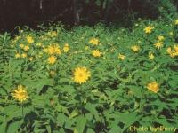 2wild-sunflowers-7-03